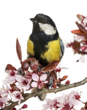 Close-up of a male great tit perched on a flowering branch, Paru