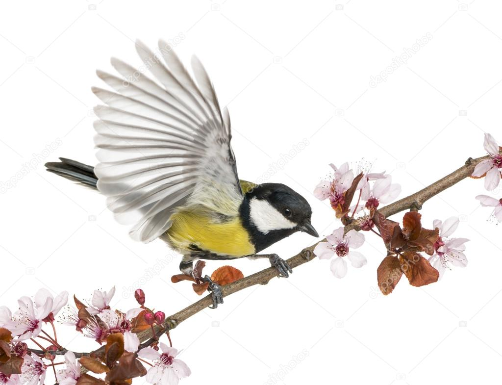 Male great tit taking off from a flowering branch - Parus major,