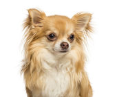 Close-up of a Chihuahua, 18 months old, isolated on white