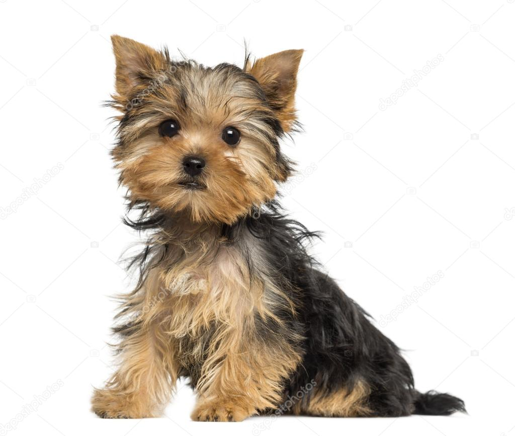 3 month old yorkie puppy size side view of a yorkshire terrier puppy sitting 3 months 7582