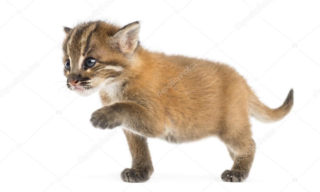 Young Asian golden cat reaching, Pardofelis temminckii, 4 weeks old — Photo  by ...
