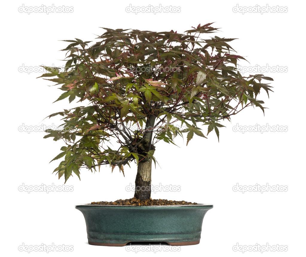 Maple Bonsai Tree Isolated On White Stock Photo C Lifeonwhite 28701259