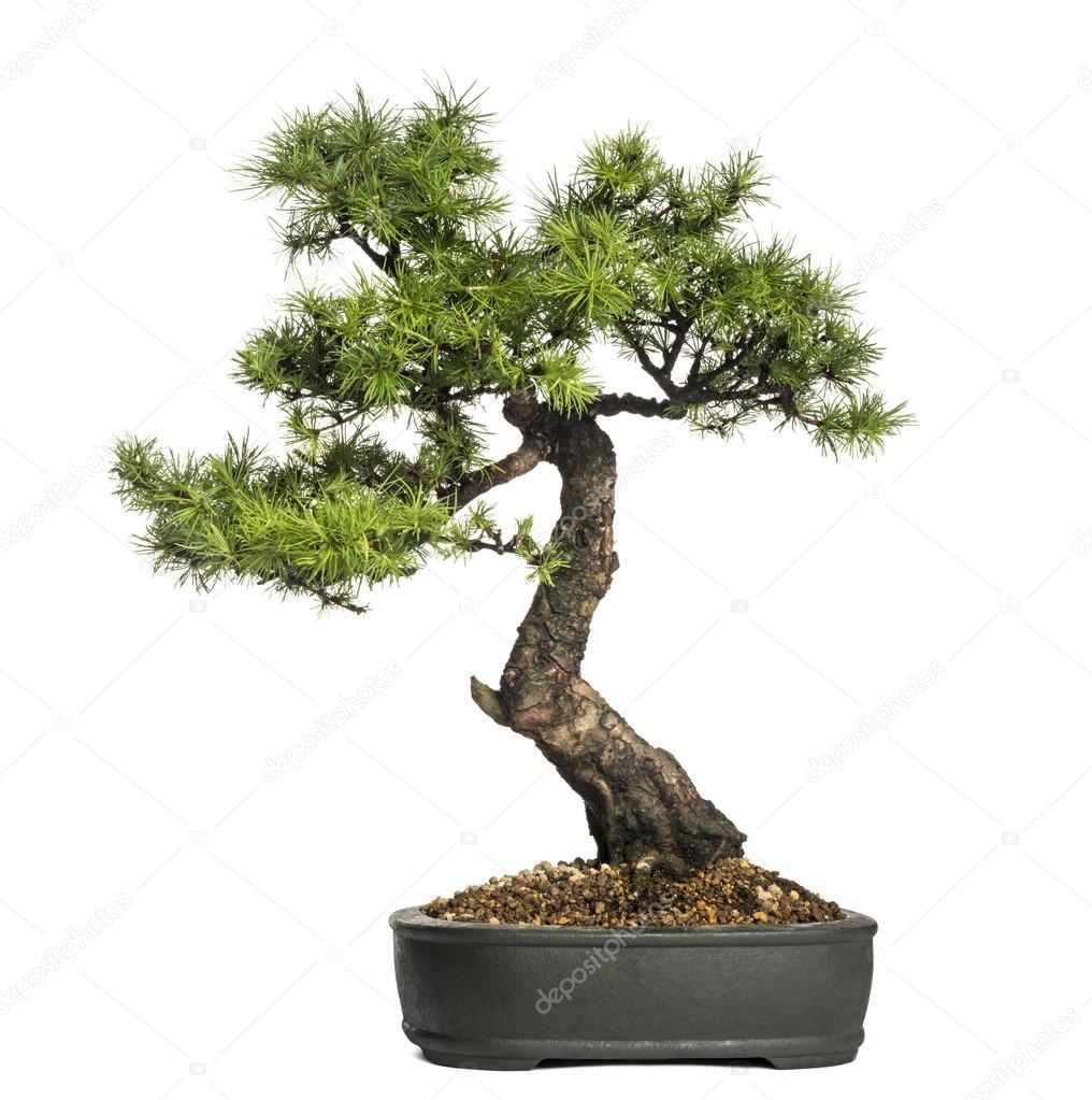 Arbre bonsa m l ze larix isol sur blanc photographie lifeonwhite 28701841 - Bonsai arbre prix ...