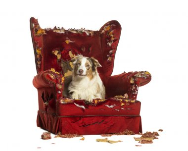 Australian Shepherd puppy, 10 months old, lying on a detroyed armchair