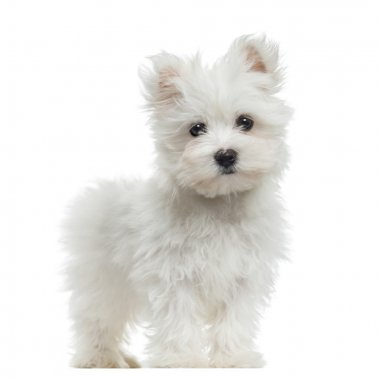 Maltese puppy standing, looking at the camera, 2 months old, iso