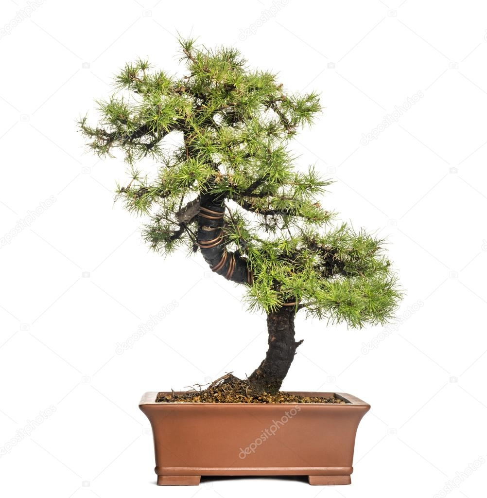 Larch Bonsai Tree Larix Isolated On White Stock Photo C Lifeonwhite 28783229