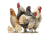 Fotografie Skupina slepice, kohouti a kuřat, izolované na bílém
