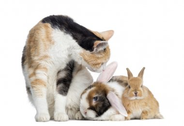 European Shorthair cat with rabbits, isolated on white
