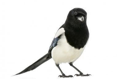 Common Magpie looking at the camera, Pica pica, isolated on whit