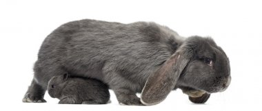 Side view of a Lop-eared rabbit and young rabbit, isolated on wh