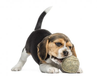 Front view of a Beagle puppy playing with a tennis ball, isolate