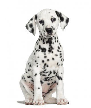 Front view of a Dalmatian puppy sitting, facing, isolated on whi