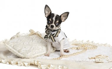 Dressed up Chihuahua puppy sitting, looking at the camera, 4 mon
