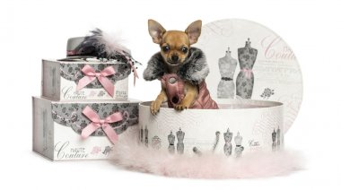 Chihuahua puppy in a clothes box, 3 months old, isolated on whit