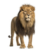 Fotografie Lion standing, Panthera Leo, 10 years old, isolated on white