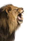 Fotografie Close-up of a Lion roaring, isolated on white