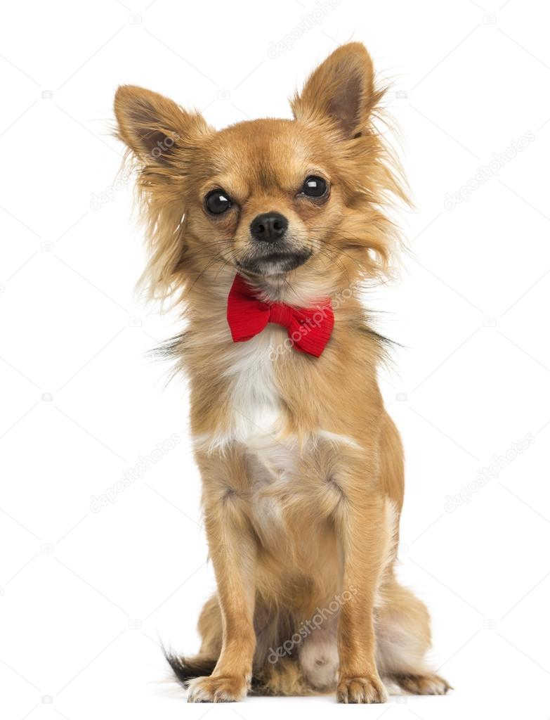 Front View Of A Chihuahua Wearing A Bow Tie Sitting 11 Months Stock Photo Image By Lifeonwhite 36558969