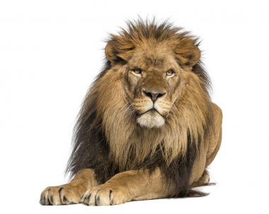 Lion lying down, facing, Panthera Leo, 10 years old, isolated on