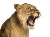 Photo Close-up of a Lioness roaring, Panthera leo, 10 years old, isola