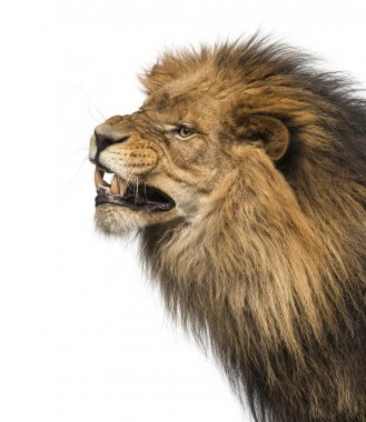Close-up of a Lion's profile, roaring, Panthera Leo, 10 years ol