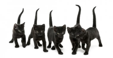 Front view of a Group of Black kitten walking in the same direct