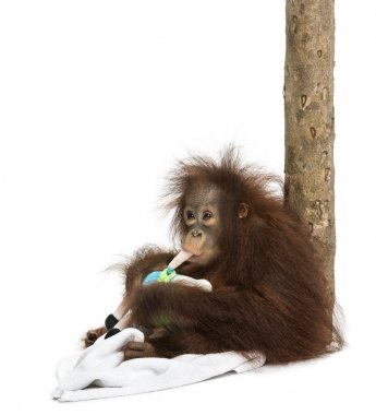 Young Bornean orangutan leant against a tree trunk, chewing its stuffed toy, Pongo pygmaeus, 18 months old, isolated on white stock vector