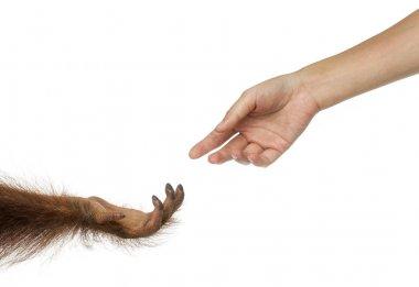 Bornean orangutan and human hands reaching at each other, Pongo