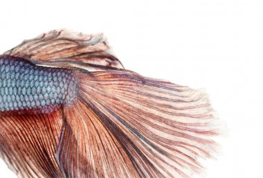 Close-up of a Siamese fighting fish's caudal fin, Betta splenden