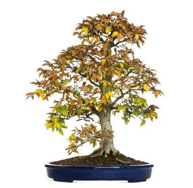 Beech bonsai tree, Fagus, isolated on white