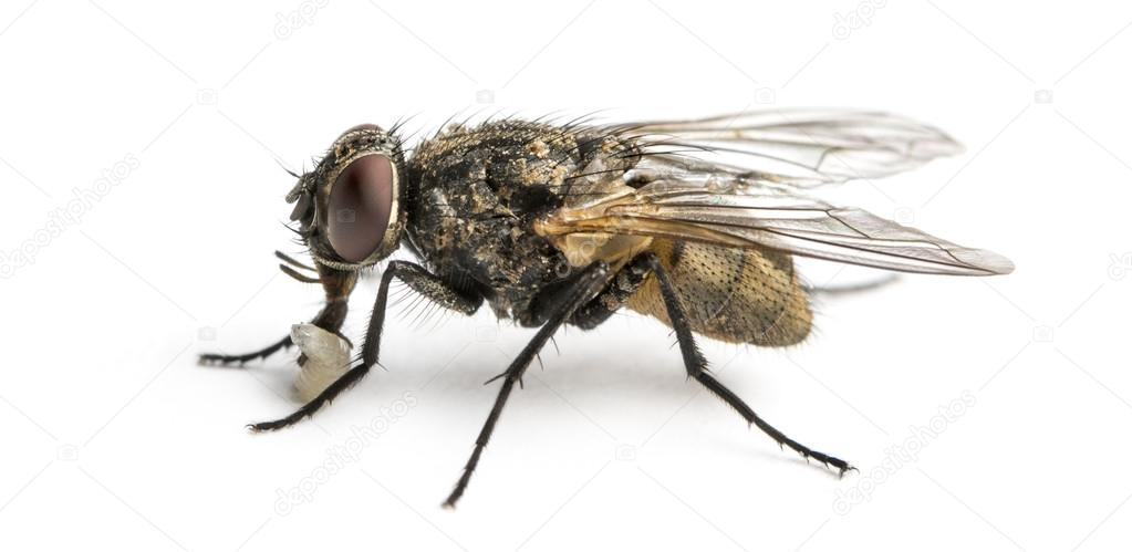 Side view of a dirty Common housefly with larva, Musca domestica ...