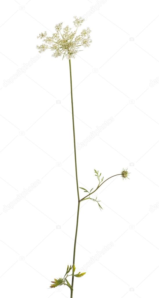 Wild blühende Pflanze, isoliert auf weiss — Stockfoto © lifeonwhite ...