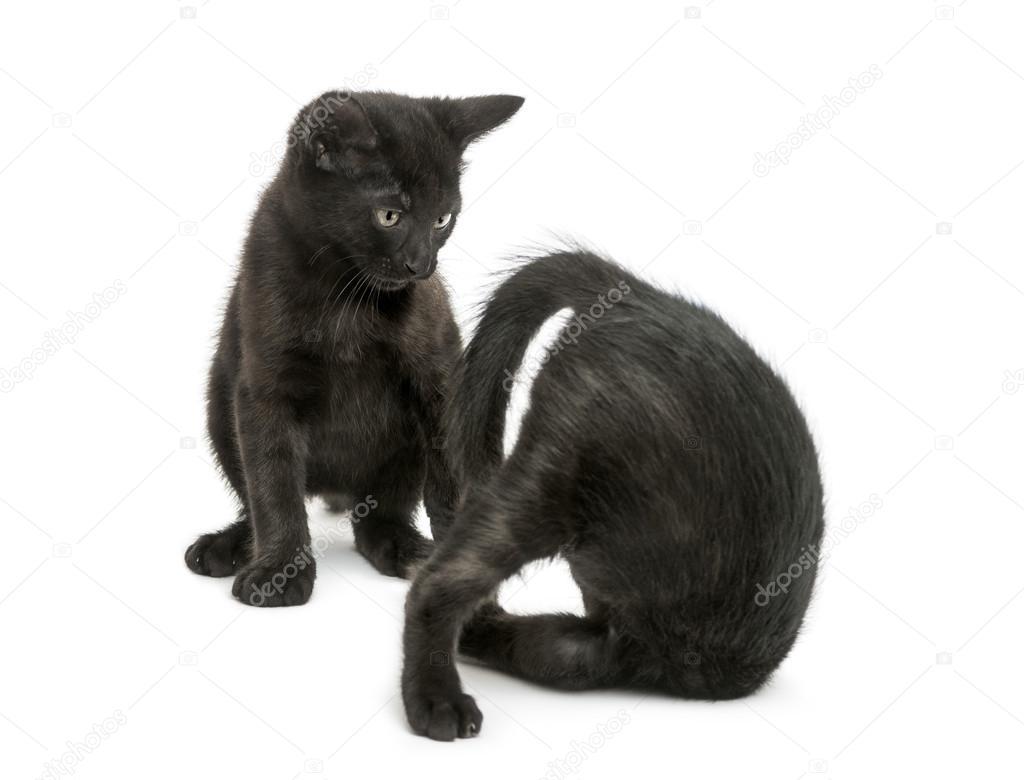 tlustá černá těhotná kočička