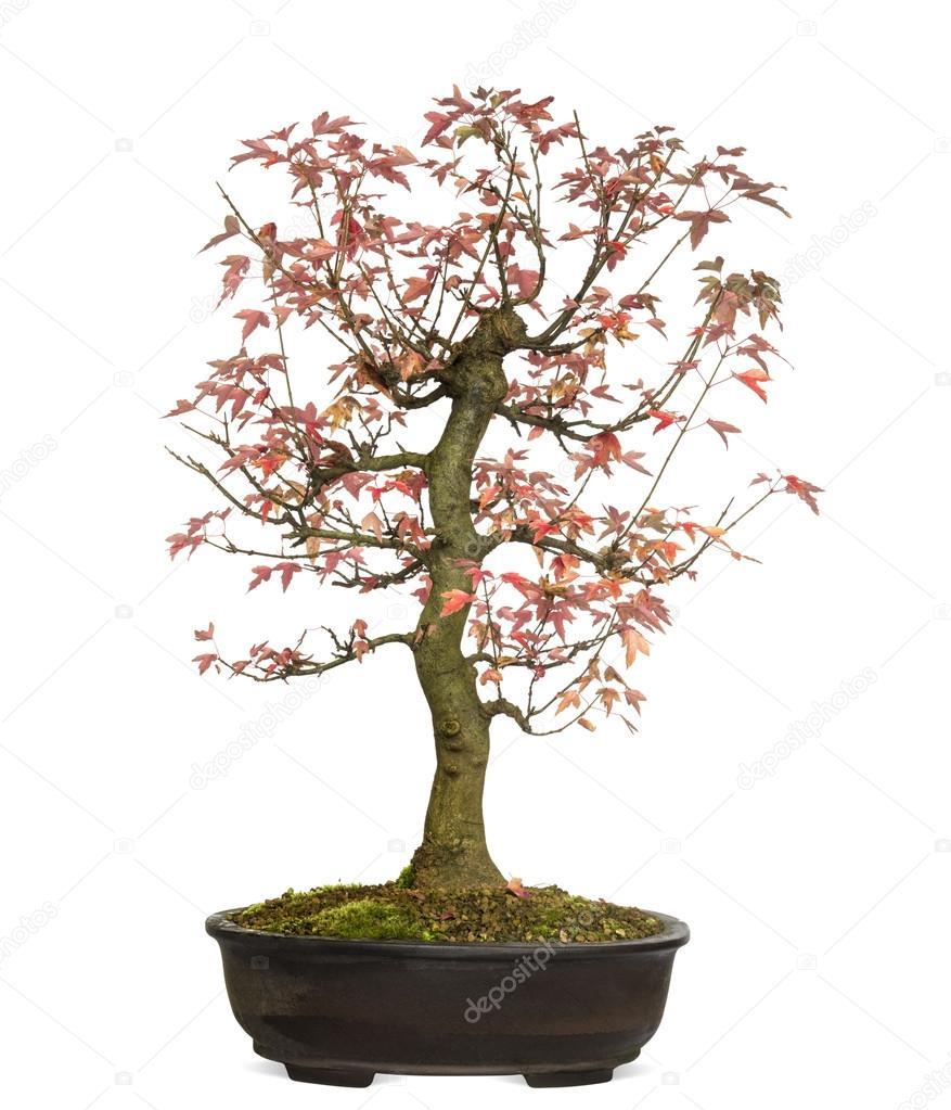 Fotos Acer Buergerianum árbol De Los Bonsais Arce Tridente Acer