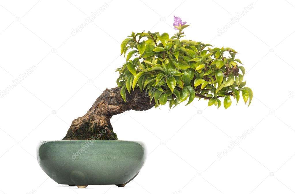 Bougainvillea bonsai tree, isolated on white