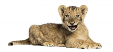 Side view of a Lion cub lying, roaring, 10 weeks old, isolated o
