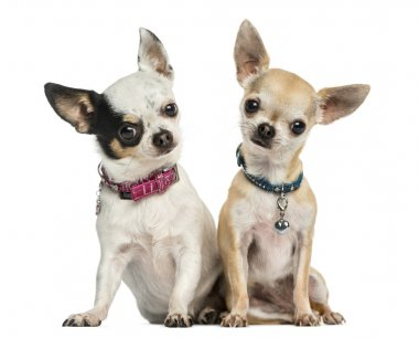 Front view of two Chihuahuas wearing collars, sitting, looking a