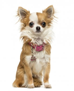 Chihuahua wearing a shiny collar, sitting, 7 months old, isolate