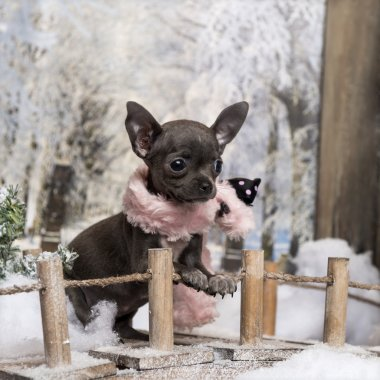 Chihuahua puppy with pink scarf, standing on a bridge in a winte