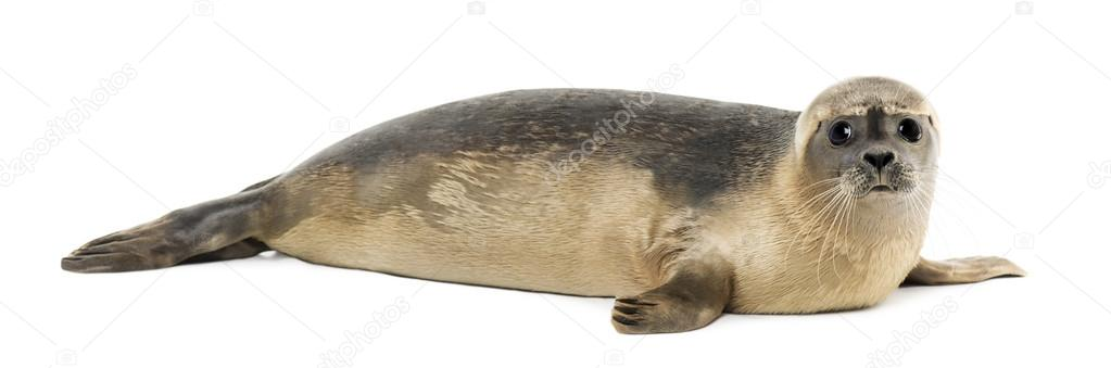 Side view of a Common seal lying, looking at the camera, Phoca v