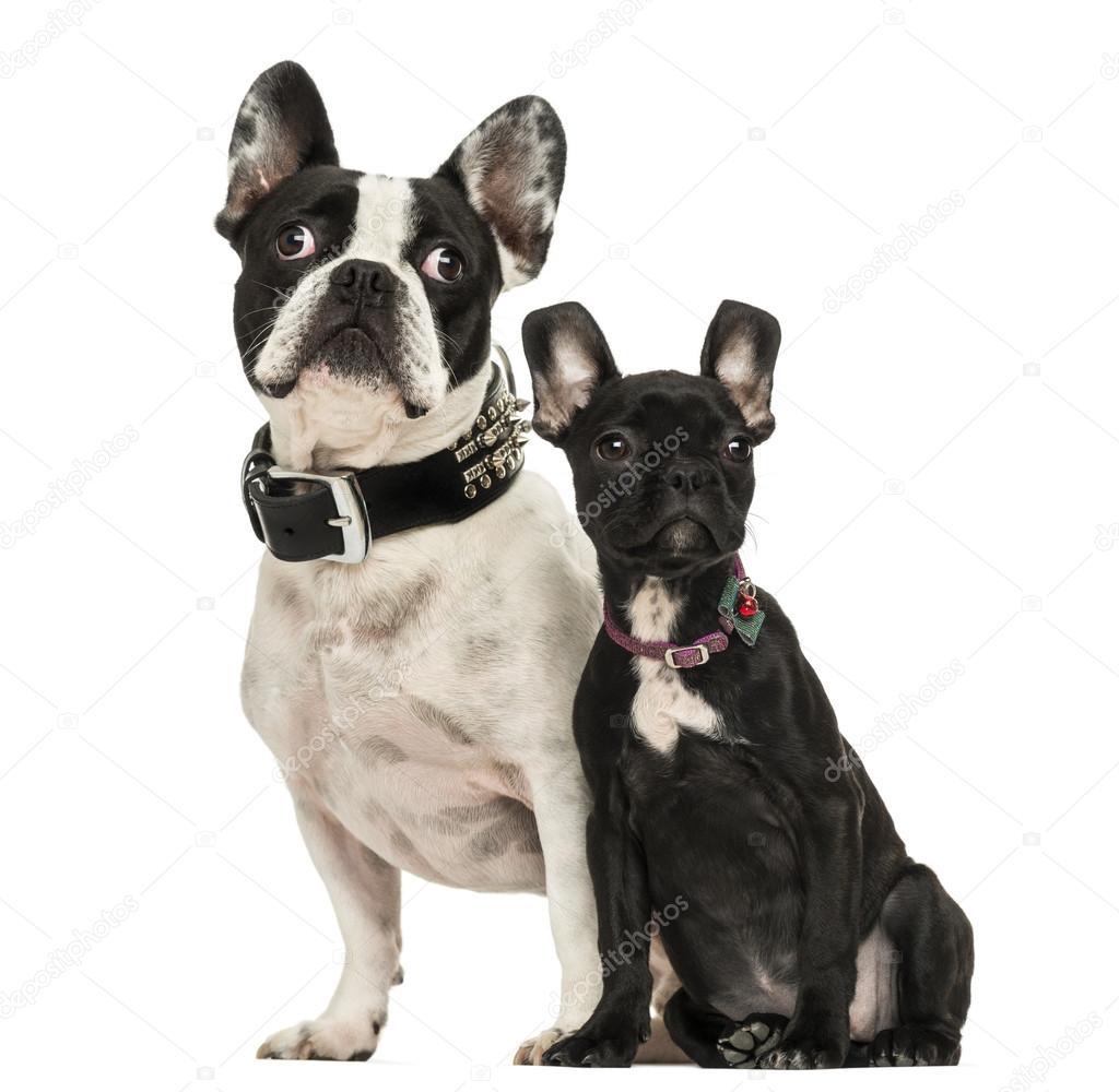 Bulldog Francés Adulto Y Cachorro Buscando 3 Meses De Edad Isola