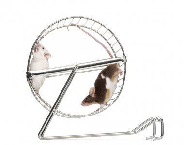 Side view of Common house mice playing in a wheel, Mus musculus,