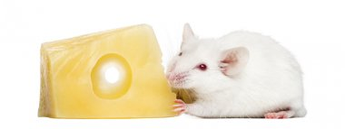 Common house mouse eating cheese, Mus musculus, isolated on whit