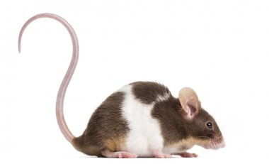 Side view of a Common house mouse, Mus musculus, isolated on whi
