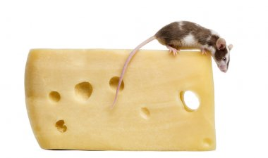 Common house mouse perched on top of a big piece of cheese, look