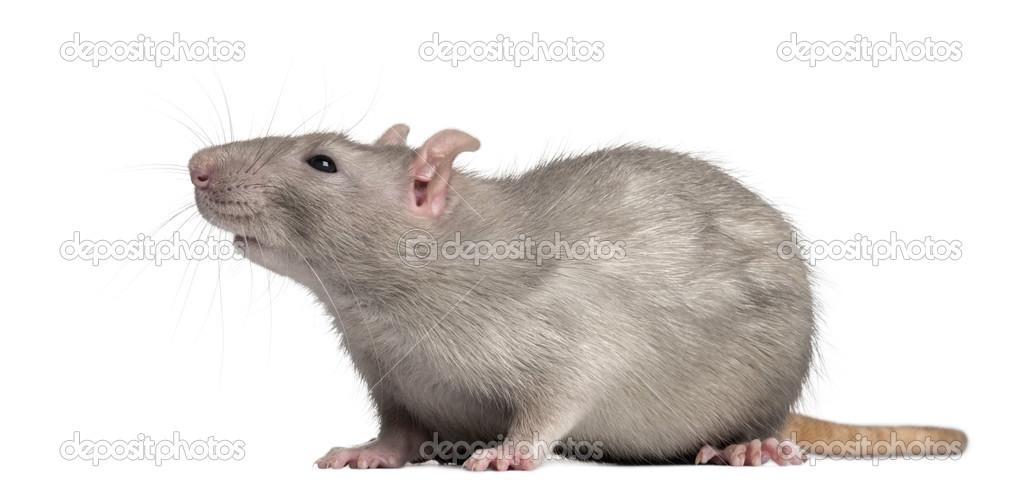 Big ass rat inside of my engine