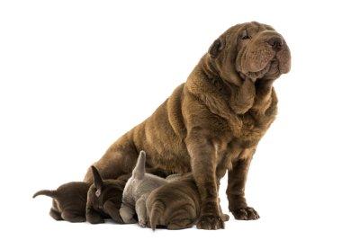 Shar Pei mom sitting, breastfeeding her puppies, isolated