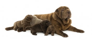 Shar Pei mom lying down, breastfeeding her puppies, isolated on