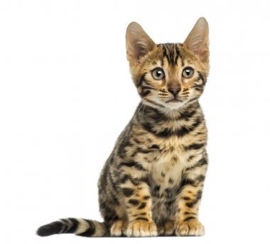 Front view of a Bengal kitten sitting, 3 months old, isolated on