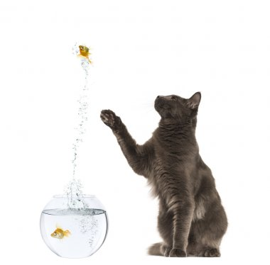 Maine Coon reaching at a goldfish jumping out of its aquarium, 1
