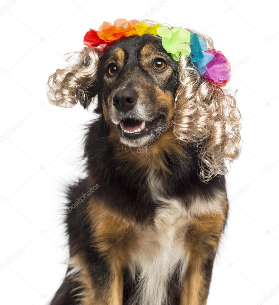 Close-up of Border collie wearing a blond wig with floral crown,